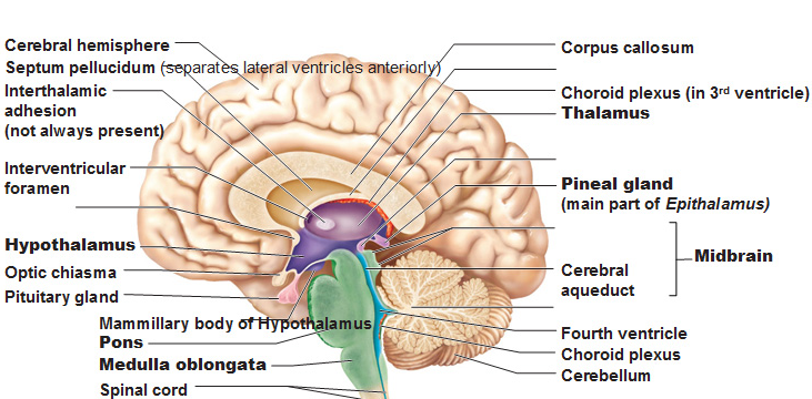 source:  http://antranik.org/the-diencephalon